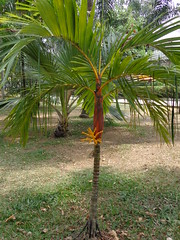 (sftrajan) Tags: southamerica colombia palmtrees palmtree jardimbotnico botany botanicgarden botanicalgarden palmera medellin jardnbotnico  ortobotanico 2016 palmetum  botanischetuin botanisktrdgrd jardnbotnicodemedelln jardnbotnicojoaqunantoniouribe botanicalgardenofmedelln medellnbotanicgarden