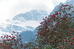 RHODODENDRON WITH SNOW MOUNTAIN IN BACKGROUND (::: a j z p h o t o g r a p h y :::) Tags: red india mountain flower tree rhododendron sikkim snowmountain northsikkim