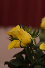 DSC_0801 (PeaTJay) Tags: flowers roses plants macro nature rose gardens fauna reading flora sigma indoors micro closeups berkshire rosebuds lowerearley nikond750