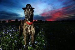15/52 Texan (d.rizzle) Tags: sunset greyhound texas cowboyhat bluebonnets 52weeksfordogs dolcegambino