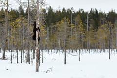 Wolverine in the Finnish taiga. (Jos Carlos Photography) Tags: snow tree primavera animals fauna finland arbol evening spring europa europe nieve tarde wolverine finlandia gulogulo glotn viajefinlandia2016 wildbrrownbear