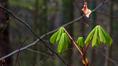 so fresh (MH *) Tags: trees green leaves 50mm spring dof bokeh branches young fresh grn ste bltter bume baum springtime frhling frisch freiamt d7200