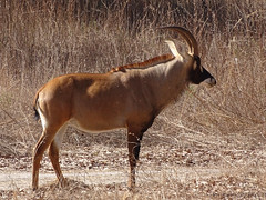 Roan antelope, Fathala Reserve, Senegal (**Anik Messier**) Tags: africa nature animals reserve safari senegal animaux afrique wildness rserve roanantelope snral