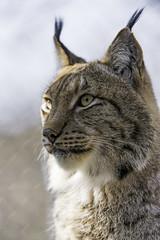 Semi-profile of Mojak (Tambako the Jaguar) Tags: wild portrait male face cat zoo switzerland nikon farm profile posing bern attentive lynx d4 semiprofile johnskleinefarm