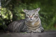 (Katarina Drezga) Tags: cats pets cat feline felines domesticcat petphotography nikkor50mm18g nikond3100
