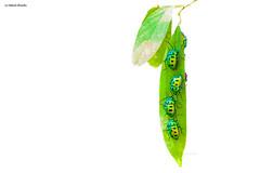 Jewel Beetle (nileshbhadla84) Tags: morning wild bird nikon wildlife sanctuary ahmedabad greengems wildlifephotography nikonschool jewelbeetle d4s nikonindia ahmedabadmirror unseenindia iamnikon indiaunseen nikkor200500 gujaratunseen nileshbhadla nileshbhadlaphotography iamad4s