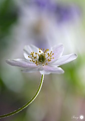 Nothing is forever (Trayc99) Tags: white floral beautiful petals bokeh decorative anemone delicate floralart woodanemone beautyinnature flowerphotography beautyinmacro