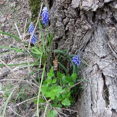 2-IMG_2991 (hemingwayfoto) Tags: flora blau blume blte garten botanik hyazinthe blhen traubenhyazinthe zuchtform