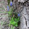 2-IMG_2991 (hemingwayfoto) Tags: flora blau blume blüte garten botanik hyazinthe blühen traubenhyazinthe zuchtform