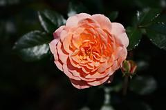 Apricot 'Impressionist' Heirloom Rose (Jim Atkins Sr) Tags: flower rose garden nc sony northcarolina apricot newbern newbernnc tryonpalace sonya58 marykistlerstoneygarden apricotimpressionistrose
