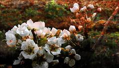 Sueo de primavera (desde mi corazn) Tags: textura primavera rbol huerta frutal