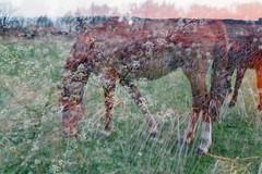 (AirSonka) Tags: horse film grass analog 35mm pentax multipleexposure multiple analogue pentaxmz7 tripleexposure pelcula filmphotography pellicule kodakgold200 airsonka soniakaniss