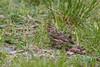 Verzellino (Serinus serinus) - Serin ♀ (Carla@) Tags: nature birds canon europa italia wildlife liguria oiseaux avifauna serin mfcc serinusserinus coth supershot avianexcellence verzellino naturallywonderful thesunshinegroup explorenaturethewildnature