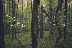 between the dogwoods (shane holsclaw) Tags: flowers trees plant tree nature forest landscape woods outdoor westvirginia dogwood blooms