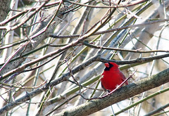 P4140069B (The Real Maverick) Tags: toronto ontario canada highpark cardinal outdoor torontoparks olympusstylus1