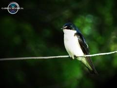 Andorinha (Gabriel_Azambuja) Tags: detail bird nature brasil photo nikon pampa andorinha d3200
