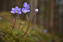 Dancing In The Forest (FlorDeOro) Tags: flowers light plant detail macro nature forest photography moss spring nikon colorful dof blossom sweden bokeh nikkor d90 40mmf28gmicro mijarajc
