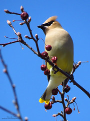 Cedar Waxwing IMG_4975 (Jennz World) Tags: sky ontario canada bird animal berries cedarwaxwing brantford lornepark jennifermlivick