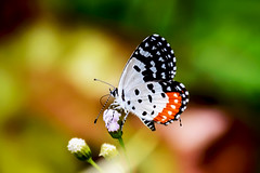Red pierrot on a little flower (malc1702) Tags: macro nature closeup butterfly garden outdoors bokeh ngc insects butterflyonflowers redpierrot nikond7100 nikkor18140mm
