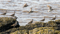 Flock of whimbrel (Numenius phaeopus) on rocky coast, taking flight (Ian Redding) Tags: uk brown nature birds animal fauna coast flying bill rocks european wildlife flock group flight beak rocky estuary british migratory curved waders wading largest longlegs plumage curlew numeniusarquata scolopacidae decurved downcurved