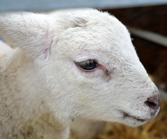 Little lamb (Tony Worrall Foto) Tags: county uk england white cute love animal fun kid stream tour open place northwest unitedkingdom farm small country north young visit location meat area lamb beast northern update baa attraction farmed kingdomnorth welovethenorth northnorthwestenglandunited