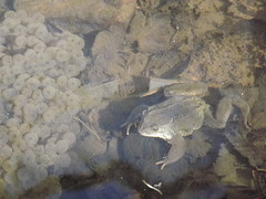 Frog and Frog Spawn, Nature in Action. (TREASURES OF WISDOM) Tags: love look mystery wow wonderful this is nice fantastic eyes view yes magic ying frog well holy yang sacred offering unknown what longevity unusual vibes spawn brilliant mystic frogspawn unseen mythical holywell intresting textu