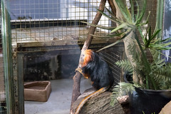 20160113-105959_WashingtonDC_D7100_1177.jpg (Foster's Lightroom) Tags: washingtondc smithsonian us washington districtofcolumbia unitedstates northamerica museums zoos primates goldenliontamarin tamarins smithsoniannationalzoologicalpark us20152016