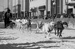 Fairbanks 09 Sled Dog Race () Tags: winter dog snow alaska race fur sale sled fairbanks trapper 2014