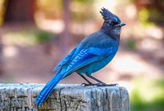 """The Stellar Steller's Jay"" / Yosemite National Park (Cathy Lorraine) Tags: california mountain mountains bird animal pine america outdoors jay north rocky yosemite western cyanocitta stelleri stellers longcrested"