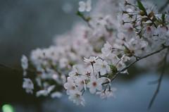 Sakura 2016 (miho's dad) Tags: kodaksupergold400 contaxrx carlzeissplanart1750