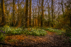 Bradley Woods Grimsby - A blanket of Wild White Anemones - 02 (Allan A Albery) Tags: sunset sun landscape photography woods bradley rays hdr grimsby ancientwoodland whiteanemones bradleywoods sonya7ii sonyzeiss2470mmfelens
