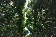 Bamboo reaching for the Sky (jsswiss) Tags: sky japan nikon kyoto bamboo tokina bambootree explored inexplore rakusaibamboopark fotosondag nikond7200 iskyn tokinaaf111628atxprodxii fs160424