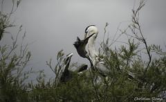 _DSC0429 (chris30300) Tags: france heron de pont parc oiseau camargue gau saintesmariesdelamer flamant provencealpesctedazur ornithologique