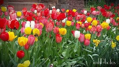 IMG_20160427_173810 (IMHPhotos) Tags: pink flowers cards spring seasons tulips wm fb2 springblossoms