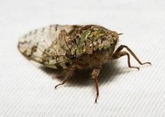 Cicada (Platypleura badia, Cicadidae) (John Horstman (itchydogimages, SINOBUG)) Tags: china macro bug cicada insect yunnan onwhite trap hemiptera cicadidae itchydogimages sinobug