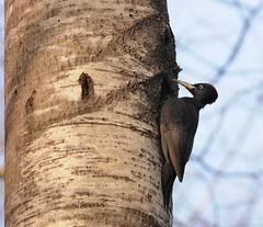 Dryocopus martius (kaius.artimo) Tags: female espoo blackwoodpecker dryocopusmartius nesthole palokärki maleincubatinginside
