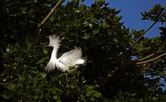 Dancing in Trees, ii (F.emme) Tags: birds snowyegret egrets