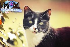 Spring time :) (celina.weiser) Tags: flowers white black cat canon germany deutschland spring kitten blumen german katze kater frhling schildpatt canon6d