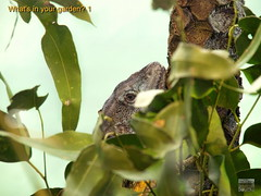 Lizard P4280824 on160428 @ 1323 (jimspc1) Tags: sydney tarongazoo topaz 14150mm chlamydosauruskingii olympusem1 acdseepro9