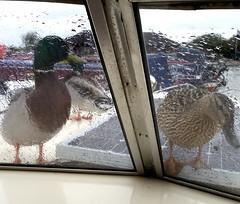 Ducks & Rain on My Boat (Adrian J Price) Tags: marina canon canal rugby wildlife ducks cruiser narrowboat warwickshire grandunioncanal strafford