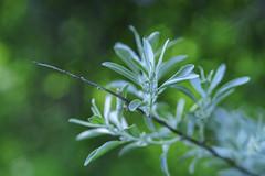 DSC08582 (gabriella.lavati) Tags: wild macro nature bokeh sony mc m42 manual manualfocus 50mmf28 a7ii volna9 sonyalpha mflens macrodreams