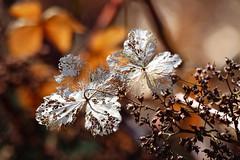 (evisdotter) Tags: light macro texture leaves spring bokeh blad hortensia sooc