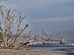2016-04-27_BotanyBayDaily118-366 (vickievilla) Tags: trees beach scenery shoreline southcarolina edistoisland