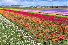 noordwijkerhout (heavenuphere) Tags: pink flowers red orange white flower netherlands yellow landscape carpet spring europe purple nederland tulip hyacinth noordwijk 70200mm zuidholland noordwijkerhout bollenstreek bulbfields southholland