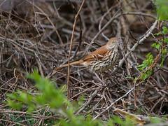 IMG_7285 (pipefitr18201) Tags: birds cardinal bluejay thrasher