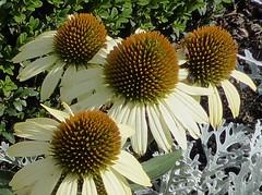 Glencoe, IL, Chicago Botanic Garden, Pale Yellow Cone Flowers (Mary Warren (6.7+ Million Views)) Tags: flowers nature yellow flora coneflowers blossoms blooms chicagobotanicgarden glencoeil