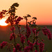 Red-flowering currant at Sunrise