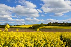 Les champs de colza (Croc'odile67) Tags: cloud nature yellow jaune landscape spring nikon nuage paysage printemps colza d3200 afsdx18105