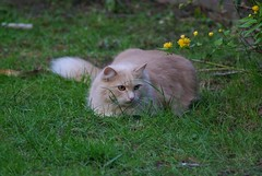 Waiting on the Lawn (frankbehrens) Tags: cats tom cat chats chat gatos gato katze katzen kater