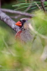 Northern Cardinal (gvall66) Tags: statepark cardinal nj northerncardinal barngat barngatlighthouse